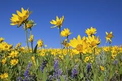 Wildflowers Lupine και Arnica Στοκ φωτογραφίες με δικαίωμα ελεύθερης χρήσης