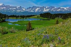 Wildflowers Lupine над озерами буйвол Стоковые Изображения RF