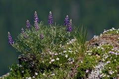 Wildflowers Lupine y polemonio púrpuras de la cima de la montaña imagen de archivo