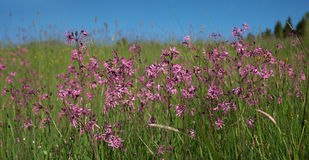 Wildflowers - lychnis flos cuculi Stock Photography