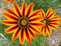 Wildflowers macro Immagini Stock Libere da Diritti
