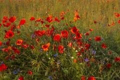 Wildflowers maczki Zdjęcia Royalty Free