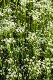 Wildflowers. Matrikariya. Stock Image