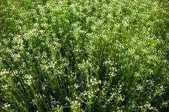 Wildflowers. Matrikariya. Stock Images
