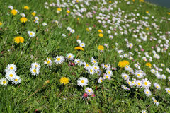 Wildflowers In Meadow. Meadow with daisies (Bellis perennis) and dandelions (Taraxacum officinale Royalty Free Stock Photos