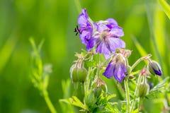 Wildflowers Meadow Cranesbill Royalty Free Stock Image
