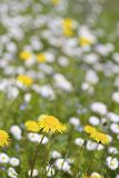 Wildflowers In Meadow Royalty Free Stock Images