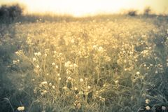 Wildflowers in meadow golden light Stock Photo