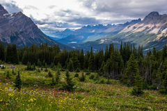 Wildflowers in a Meadow Overlooking Peyto Valley Stock Photography