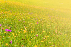 Wildflowers on a meadow in a sunny day Royalty Free Stock Photography