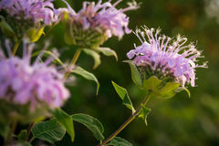 Wildflowers in Missouri. Bee Balm, a wildflower in Missouri, blooms in a field royalty free stock photos