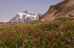 Wildflowers mit schneebedecktem Mt Shuksan im Abstand Stockbilder