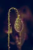 Wildflowers-Mohnblumen Stockbilder