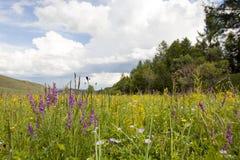 Wildflowers mongoles Fotografía de archivo libre de regalías