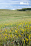 Wildflowers on the Mongolian Steppes. Brightly colored wildflowers on the Mongolian steppes with a small forest in the distance Stock Images
