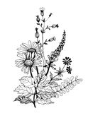 Wildflowers monocromatici d'annata, illustrazione dell'acquerello su fondo bianco Fotografia Stock