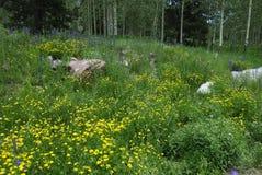 Wildflowers in montagne rocciose del Colorado Fotografia Stock Libera da Diritti