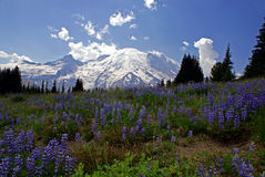 Wildflowers and Mount Rainier Stock Image
