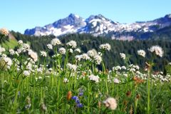 Wildflowers at Mount Rainier Stock Photo