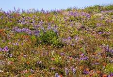 Wildflowers Mount Saint Helens Stock Photo