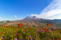 Wildflowers at Mount Saint Helens Royalty Free Stock Photo