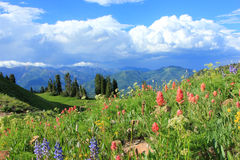 Wildflowers in a mountain meadow. Royalty Free Stock Photography