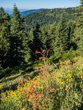 Wildflowers in mountain meadow. Wildflowers in bloom in a mountain meadow with rock and trees at Mt. Ashland in the Siskiyou mountains of southern Oregon stock photos