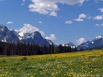 Wildflowers and Mountains. This image of the meadow of yellow wildflowers with the mountains in the background was taken near the eastern side of Glacier Royalty Free Stock Image