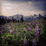 Wildflowers and mountains Royalty Free Stock Photography