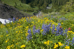 Wildflowers on Mt. Baker. A colorful carpeting of wildflowers decorates the hillside of Mt. Baker, Washington along the Heliotrope Ridge hiking trail. Lupine stock photos