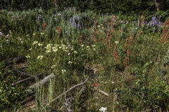 Wildflowers na escala de Wyoming Wind River Fotos de Stock