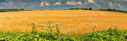 Wildflowers near the field of ripening wheat, Europe Stock Images