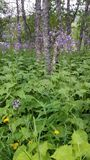 Wildflowers nel Nord della Svezia Fotografia Stock