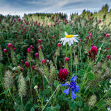Wildflowers no campo do trevo Fotografia de Stock Royalty Free