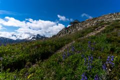 Wildflowers at North Cascades National Park Royalty Free Stock Images