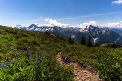 Wildflowers at North Cascades National Park in the summer Stock Image