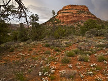 Wildflowers, Northern Arizona Desert Royalty Free Stock Image