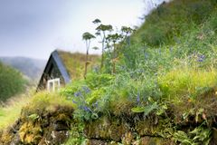 Wildflowers On Overgrown Old Stone Fence In Iceland Stock Image