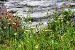 Wildflowers op een achtergrond van de snelle rivier Royalty-vrije Stock Fotografie