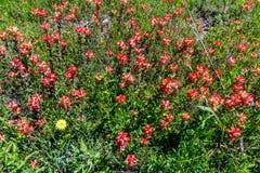 Wildflowers oranges de pinceau indien dans le Texas photo libre de droits