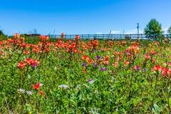Wildflowers oranges de pinceau indien dans le Texas image libre de droits