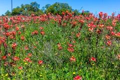 Wildflowers oranges de pinceau indien dans le Texas photos libres de droits