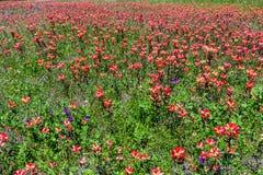 Wildflowers oranges de pinceau indien dans le Texas photographie stock