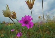 Wildflowers púrpuras Fotografía de archivo