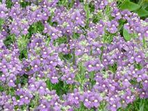 Wildflowers púrpuras fotografía de archivo libre de regalías