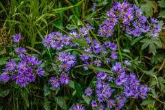 Wildflowers púrpuras coloridos del aster de la caída Fotos de archivo libres de regalías