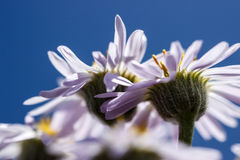 Wildflowers púrpuras del fleabane Imagenes de archivo