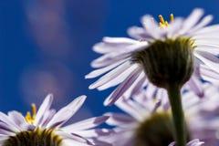 Wildflowers púrpuras del fleabane Imagen de archivo libre de regalías