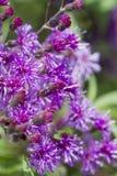 Wildflowers púrpuras del Ironweed - gigantea de Vernonia Fotos de archivo
