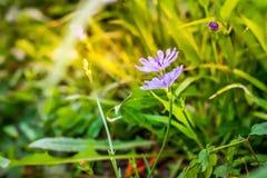 Wildflowers púrpuras en el campo con el fondo borroso Imagen de archivo libre de regalías